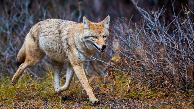 coyote of prairiewolf